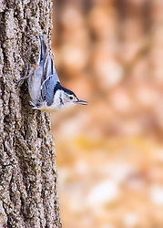 A White-Breasted Nuthatch in a typical pose on the side of a tree