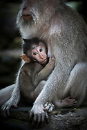 Bali, Indonesia - February 14, 2017: A macaque (Macaca fascicularis) nurses her baby in the Ubud Monkey Forest in Ubud, Bali, Indonesia.