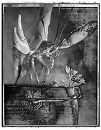 Solaroids - You Are What You Eat - Lobster Thermidor 1 - A Solaroid and abstract black and white series of photos by photographer Paul E Williams. Taken in 1991 for an exhibition at The Association Photographers Gallery London .<br /> <br /> Visit our FINE ART PHOTO  PRINT COLLECTIONS for more wall art photos to browse https://funkystock.photoshelter.com/gallery-collection/Fine-Art-Photo-Prints-by-Photographer-Paul-Williams/C0000UM829OLMVv8 .