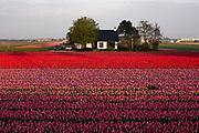 Tulipfield in the village Vogelzang, Bloemendaal municipality