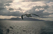 A seagull follows a ferry crossing from the Isle of Skye to the Oban, Scotland.  May 1996.