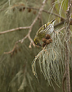 Female Eurasian siskin (Carduelis spinus). The siskin is a type of finch. It breeds in northern Europe, parts of Russia and eastern Asia, and migrates south in the winter. It favours coniferous woodland. The siskin is approximately 12 centimetres in length. Photographed in Israel in February