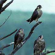 Peregrine falcon, (Falco peregrinus) Young birds perched in dead pine. Lake Superior.