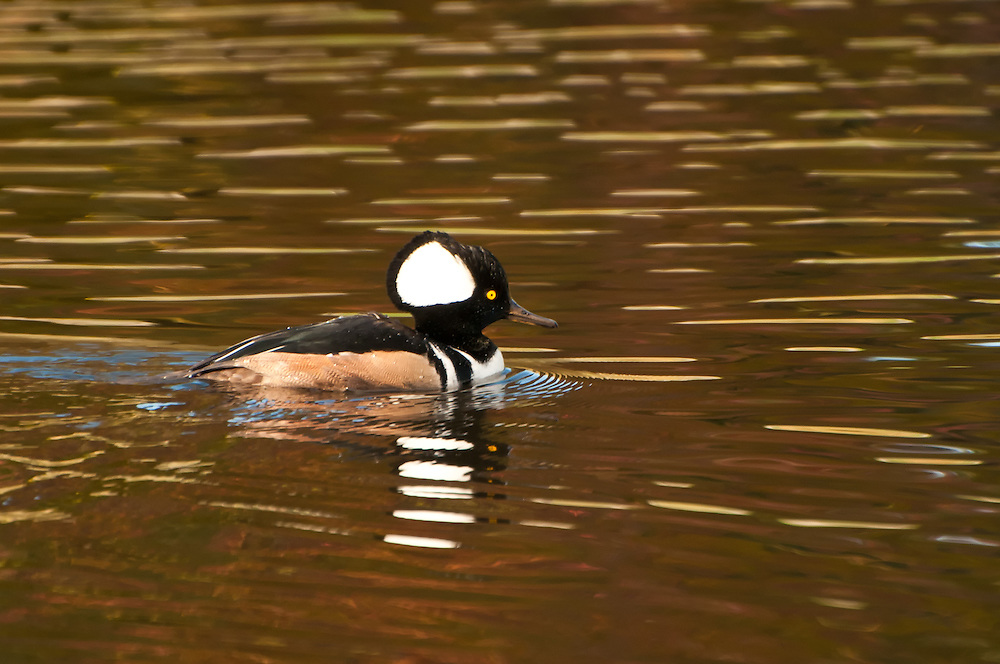 A male hooded merganser shows off his head-crest in a small pond in Medina, Washington.