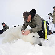 Dr. Steven Amstrup and Eric Regehr with a large male polar bear on the Beaufort Sea in Alaska.