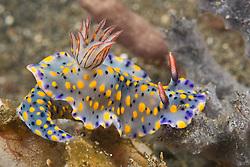 A flamboyantly colored nudibranch, Hypselodoris kanga, feeds on a sponge. Lembeh Strait, North Sulawesi, Indonesia