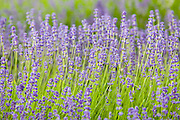 Folgate lavender,Snowshill, Worcestershire, United Kingdom The Cotswolds