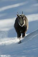 19.11.2008.Chamois (Rupicapra rupicapra). Walking in snow..Gran Paradiso National Park, Italy