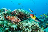 Scorpionfish, Scorpaena maderensis, watching a rainbow wrasse, Coris julis. Faial, Azores, Portugal