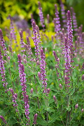 Salvia nemorosa 'Amethyst' AGM<br />  - Balkan clary 'Amethyst'