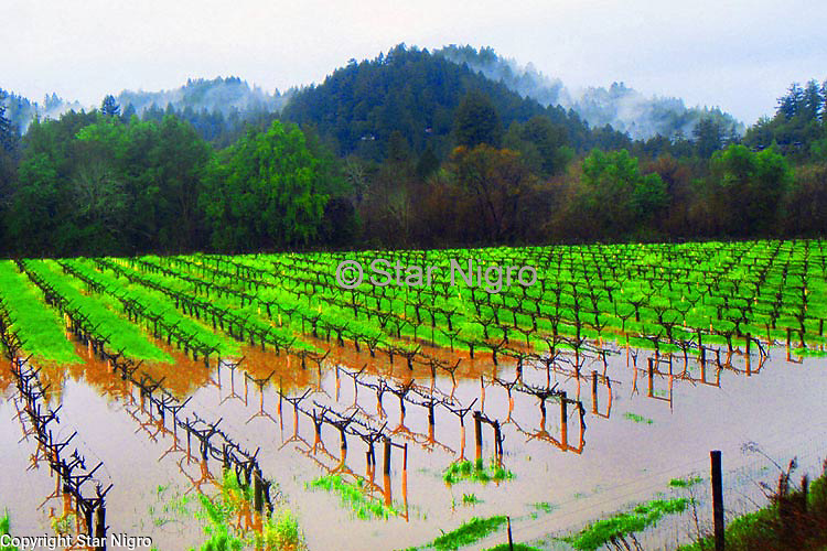 Sonoma Valley vineyard from California flooded out during the rainy season.<br /> <br /> <br /> photo by Star Nigro<br /> <br /> ©2021 All artwork is the property of STAR NIGRO.  Reproduction is strictly prohibited.<br /> <br /> starnigro.com