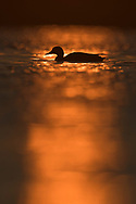 Mallard Duck, Anas platyrhynchus, Nemunas Delta Nature Reserve, Lithuania, Europe