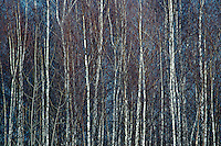 White Birches in the Winter