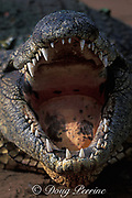 Nile crocodile, Crocodylus niloticus (c)<br /> basking with mouth open,<br /> South Africa