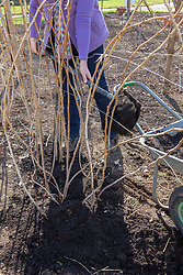Mulching raspberry canes with compost in spring