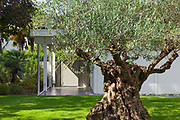 sunny garden of a modern house with old olive tree