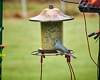 Tufted Titmouse. Image taken with a Nikon D850 camera and 200 mm f/2 VR lens
