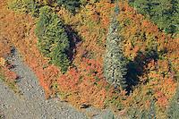 Autumn Vine Maple (Acer circinatum) paint a steep slope along with Noble Fir (Abies procera) in Stevens Canyon, Mount Rainier National Park, Washington, USA