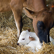 Cow Tending to her Newborn Calf