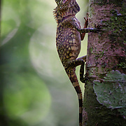 Typically this species is found in thick, shady forest shade, resting quietly on the trunks of saplings or lianas. The Borneo Anglehead Lizard occurs only on the island of Borneo.