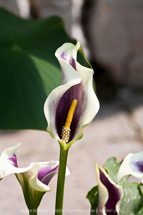 Picasso calla lily (Zantedeschia 'Picasso')