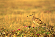 Whimbrel (Numenius phaeopus), the most widespread of the curlews, on the tundra<br />Churchill<br />Manitoba<br />Canada