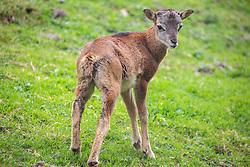 THEMENBILD - ein Mufflon Lamm (Ovis aries musimon) im Wildpark Ferleiten, aufgenommen am 29. April 2018 in Taxenbacher-Fusch, Österreich // a mouflon at the Wildlife Park, Taxenbacher-Fusch, Austria on 2018/04/29. EXPA Pictures © 2018, PhotoCredit: EXPA/ Stefanie Oberhauser