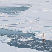 A polar bear stands for a better view of the helicopter. Arctic Ocean.