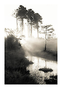 morning sun bursting through fog and pine trees at thursley, UK