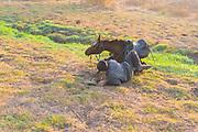 Horseback rider falls of a horse