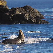Northern Elephant Seal, (Mirounga angustirostris)  male tries to keep female from getting a way. California.