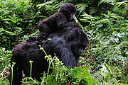 A  mountain gorilla female (Gorilla beringei beringei) carrying her young on her back through the forest, Volcanoes National Park, Rwanda