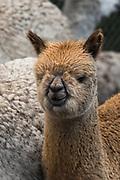 Alpacas (Vicugna pacos)<br /> Pulingue San Pablo community<br /> Chimborazo Province<br /> Andes<br /> ECUADOR, South America