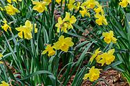 Daffodils,  East Hampton, NY