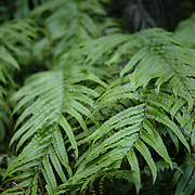 Detail of New Zealand fern leaf