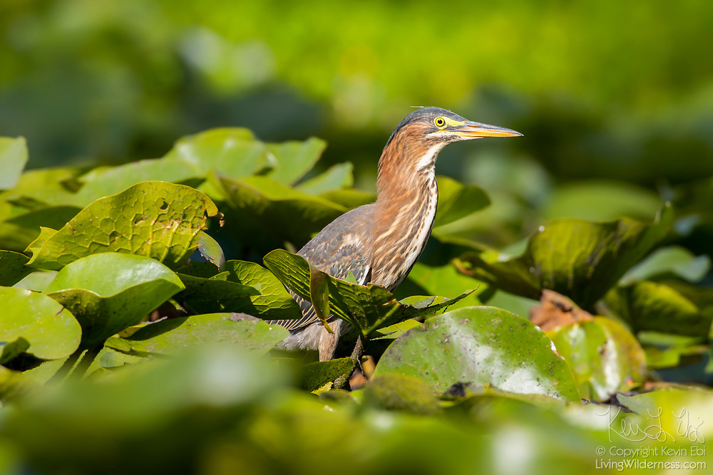 A green heron (Butorides virescens) hides among water liles to hunt in the wetlands of the Washington Park Arboretum in Seattle, Washington.