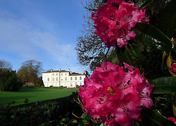 """© Licensed to London News Pictures. 11/01/2013. St.Austell, UK. With winter weather forecast for much of the UK over the coming week, these Rhododendrons in Cornwall have blooms on them  two months earlier than normal. Staff at The Lost Gardens of Heligan are wondering what other surprises the season has to offer:  ?We noticed the first flowers on the rhododendrons when we returned in the New Year, the bright pink blooms really shone out"""" said Cindy Maddison, Jungle Supervisor.. Photo credit : LNP"""