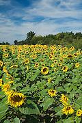 Field of sunflowers in Kansas