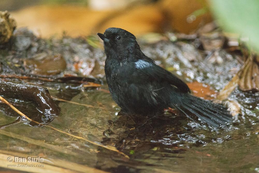 Glossy flowerpiercer, Diglossa lafresnayii, bathing in a shallow stream at Yanacocha Reserve, Ecuador
