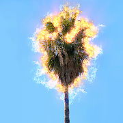 Digitally enhanced image of a burning Mature California Fan Palm (Washingtonia filifera) with blue sky background. Photographed in Jaffa Israel