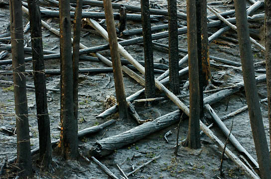 Deadfall from 1988 fires. Yellowstone National Park.