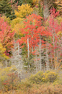 A blaze of fall foliage in the Vermont woods.