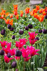Tulips in the cutting garden. Tulipa 'Black Hero', 'Ballerina' and 'Doll's Minuet'