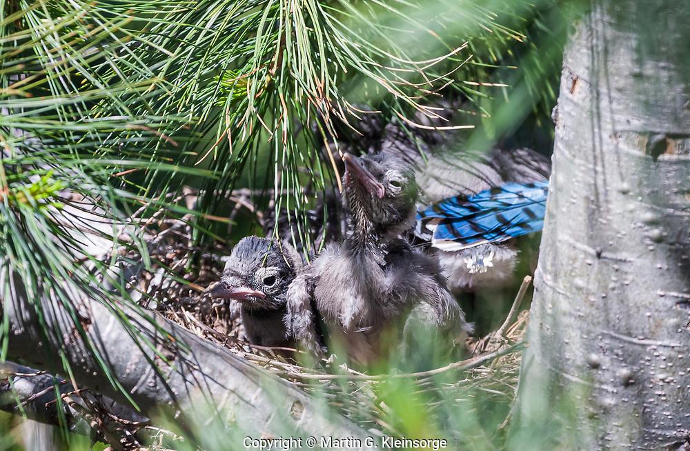 Blue Jays (Cyanocitta cristata) baby checks in nest.