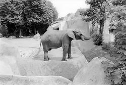 An elephant walks its enclosure at the Parc Zoologique de Paris in the Bois de Vincennes, Tuesday, June 10, 1984, in Paris. (Photo by D. Ross Cameron)