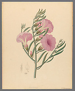 Convolvulus [Ipomoea oenotheroides] (1817) from a collection of ' Drawings of plants collected at Cape Town ' by Clemenz Heinrich, Wehdemann, 1762-1835 Collected and drawn in the Cape Colony, South Africa