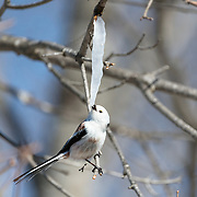 This is a long-tailed tit (Aegithalos caudatus) attempting to take a bite from an icicle formed from the sap of a painted maple tree (Acer pictum). During winter months, small birds like this make use of this calorie-rich food source (essentially frozen maple syrup) to fuel their high metabolisms. The birds often need to hover in front of icicles, but in this instance, there was a convenient perch. In the end, the icicle proved too thick for the bird to be able break off a piece with its small mouth.