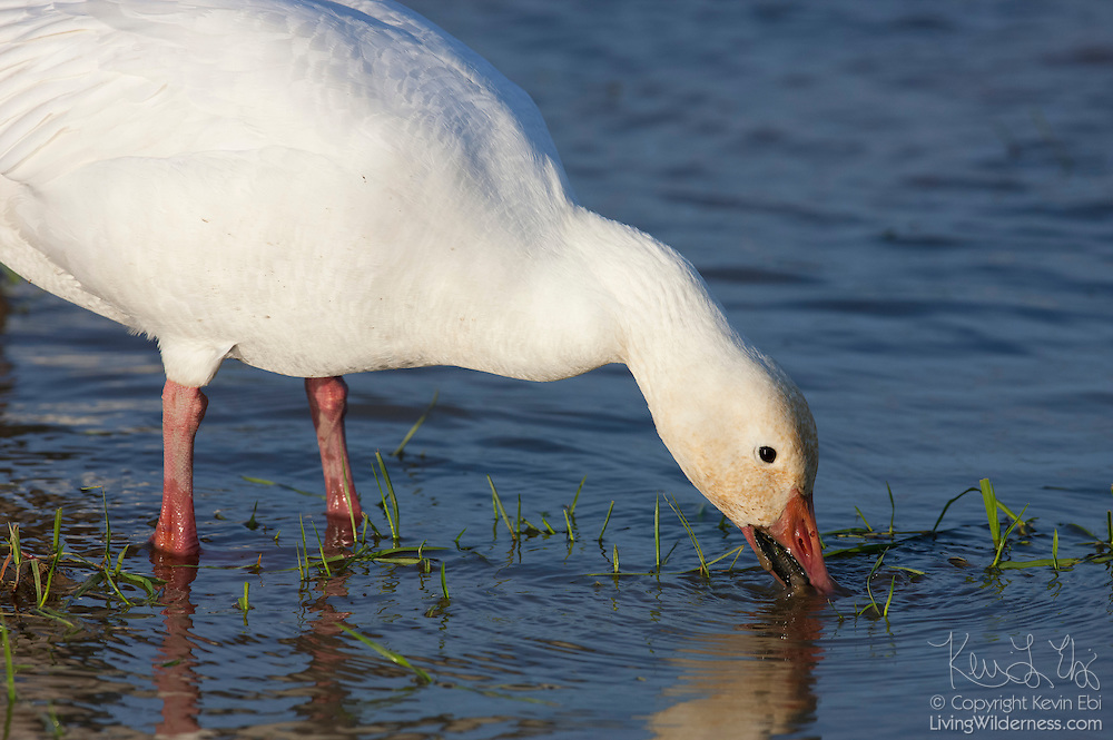 A snow goose (Chen caerulescens) feeds in a small pond located in the Skagit Valley of Washington state. Tens of thousands of snow geese, also known as blue geese, spend the winter there.