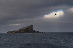 Bounty Shag (Phalacrocorax ranfurlyi) in flight above Bounty Islands, New Zealand