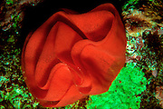 UNDERWATER MARINE LIFE HAWAII, Spanish Dancer Sea Slug, egg mass Hexabranchia sanguinius